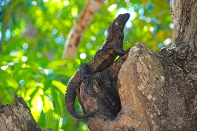 Another iguana