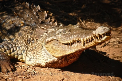 A crocodile in captivity