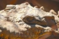 Closeup of the croc's eye