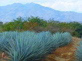 View of the agave fields
