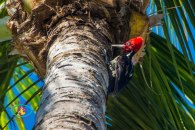 """Pájaro Carpintero Pico Plateado/Pale-billed Woodpecker/Campephilus guatemalensis. I love his striped """"pajamas""""!"""