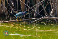 Green heron/Gallineta