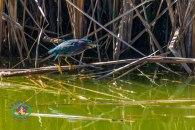 Green heron/Gallineta