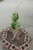 A mango grown by he children