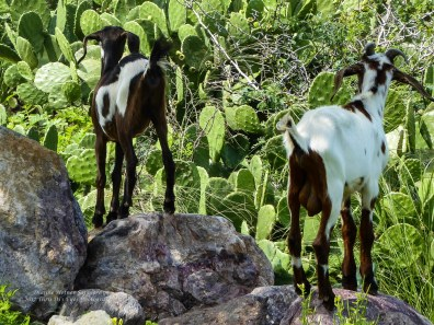Wild goats, namesakes of the hill