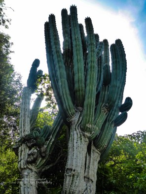 A very old cactus